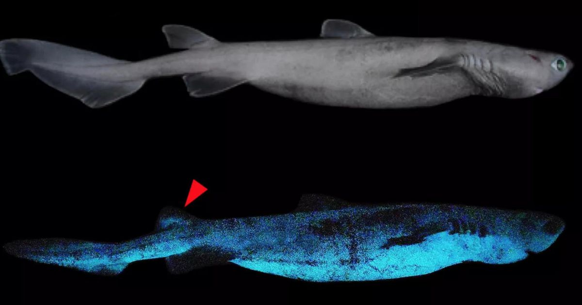 See the primary pictures of glow-in-the-dark sharks